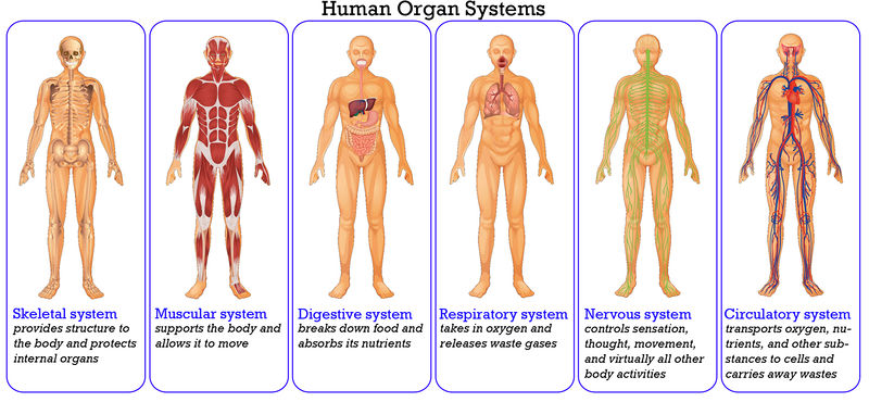 Yoselinbodysystems.weebly on Circulatory System Worksheets For Kids